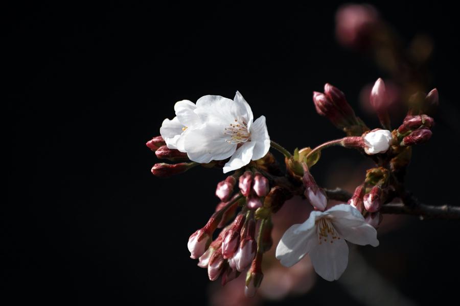 坂川の春をSD1 Merrillで_c0223825_12273465.jpg