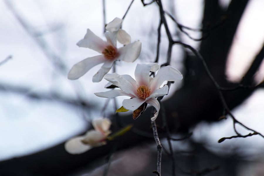 坂川の春をSD1 Merrillで_c0223825_12313152.jpg