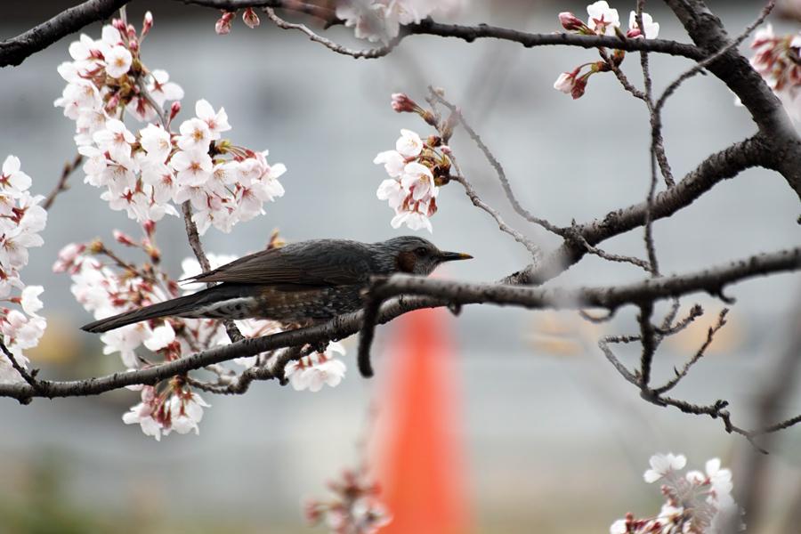 坂川の春をSD1 Merrillで_c0223825_12563102.jpg