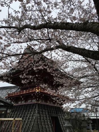 子育観音慶龍寺の桜_b0100229_14574996.jpg