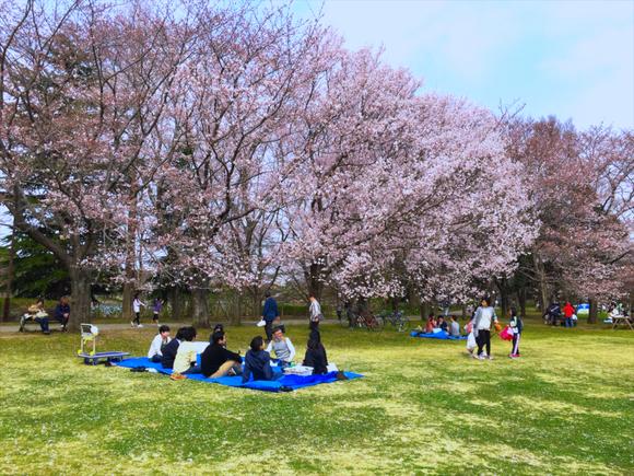 お花見 in 柏の葉公園 2016.04.01_a0148134_1737492.jpg