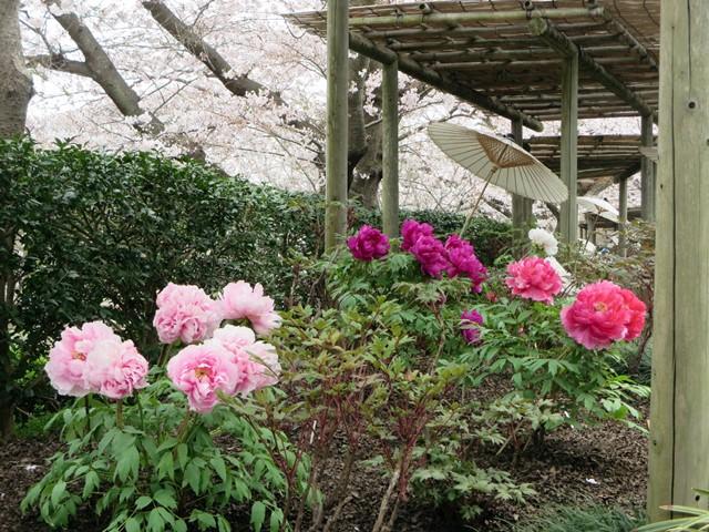 【鶴岡八幡宮】源氏池の桜と牡丹_b0009849_14262289.jpg