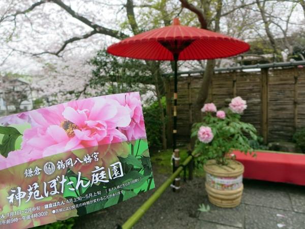 【鶴岡八幡宮】源氏池の桜と牡丹_b0009849_1426434.jpg