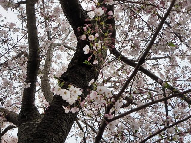 【鶴岡八幡宮】源氏池の桜と牡丹_b0009849_14281193.jpg