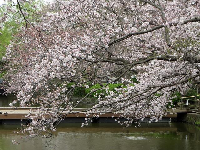 【鶴岡八幡宮】源氏池の桜と牡丹_b0009849_14282741.jpg