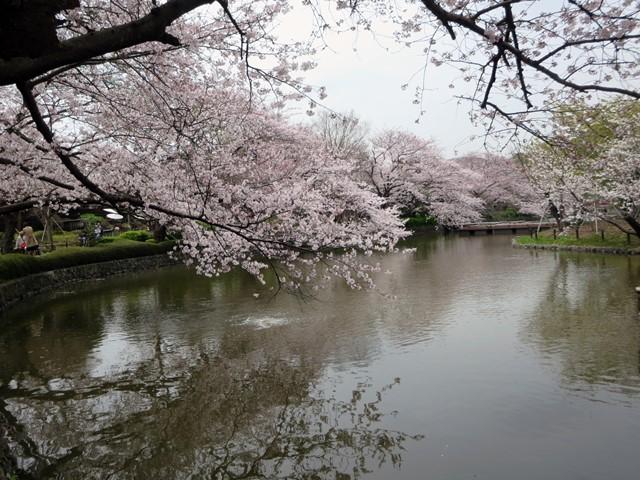 【鶴岡八幡宮】源氏池の桜と牡丹_b0009849_14312767.jpg