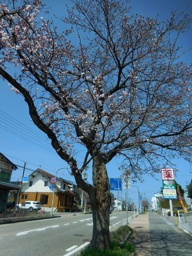 青い空と桜_c0327752_14343616.jpg