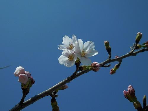 青い空と桜_c0327752_14362675.jpg