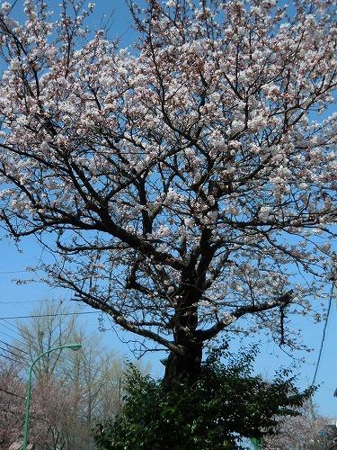 青い空と桜_c0327752_14365960.jpg