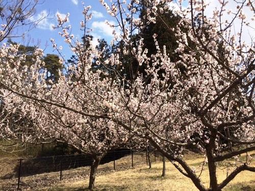 梅が満開!その次は・・・_e0211357_1554799.jpg