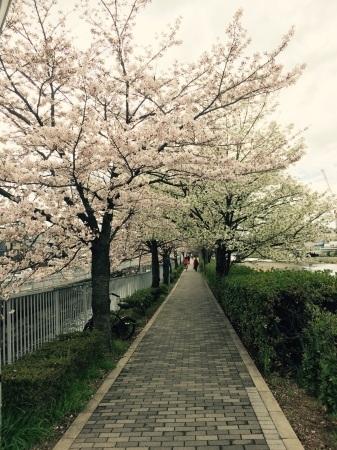 桜満開〜!_b0341759_17022054.jpg