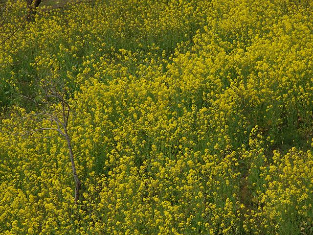 養老渓谷方面:石神の菜の花畑 ~ やまびこセンター ~ 幻の滝 (3/27)_b0006870_1143052.jpg