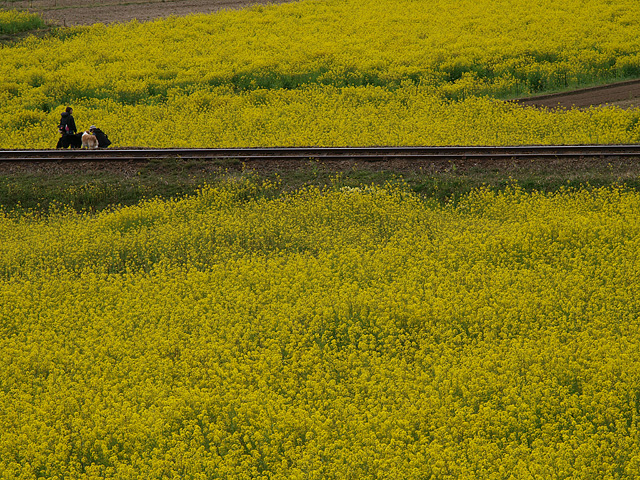 養老渓谷方面:石神の菜の花畑 ~ やまびこセンター ~ 幻の滝 (3/27)_b0006870_11432032.jpg