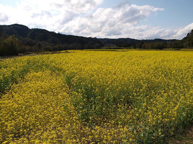 養老渓谷方面:石神の菜の花畑 ~ やまびこセンター ~ 幻の滝 (3/27)_b0006870_1147740.jpg