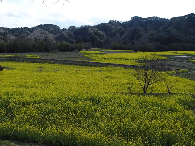 養老渓谷方面:石神の菜の花畑 ~ やまびこセンター ~ 幻の滝 (3/27)_b0006870_11483636.jpg