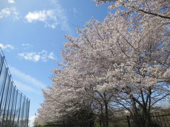 奈良、桜をめぐる散歩~そんなところは紹介せんでもええ~_c0001670_21574846.jpg