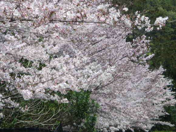 奈良、桜をめぐる散歩~そんなところは紹介せんでもええ~_c0001670_22065547.jpg