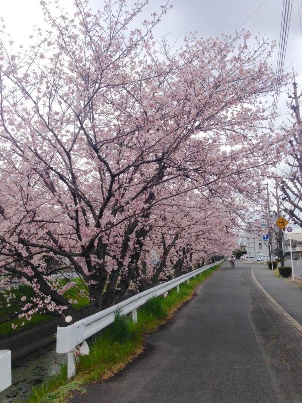 桜色_a0107193_15443365.jpeg