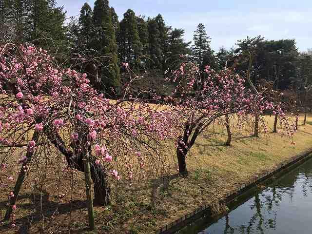 鎌ヶ谷カントリーの桜_b0184294_10591899.jpg