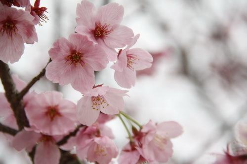 もも? → ヨウコウザクラ(陽光桜)だった?!_c0061503_11251318.jpg