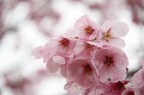 もも? → ヨウコウザクラ(陽光桜)だった?!_c0061503_11251331.jpg