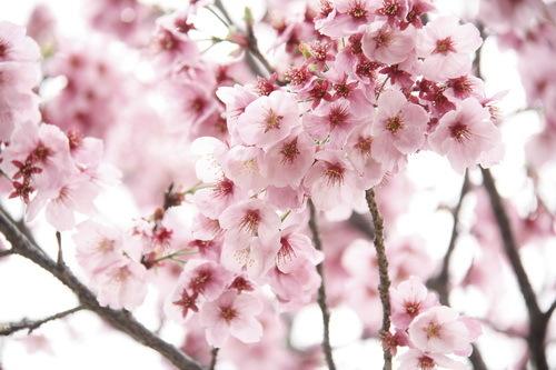 もも? → ヨウコウザクラ(陽光桜)だった?!_c0061503_11251375.jpg
