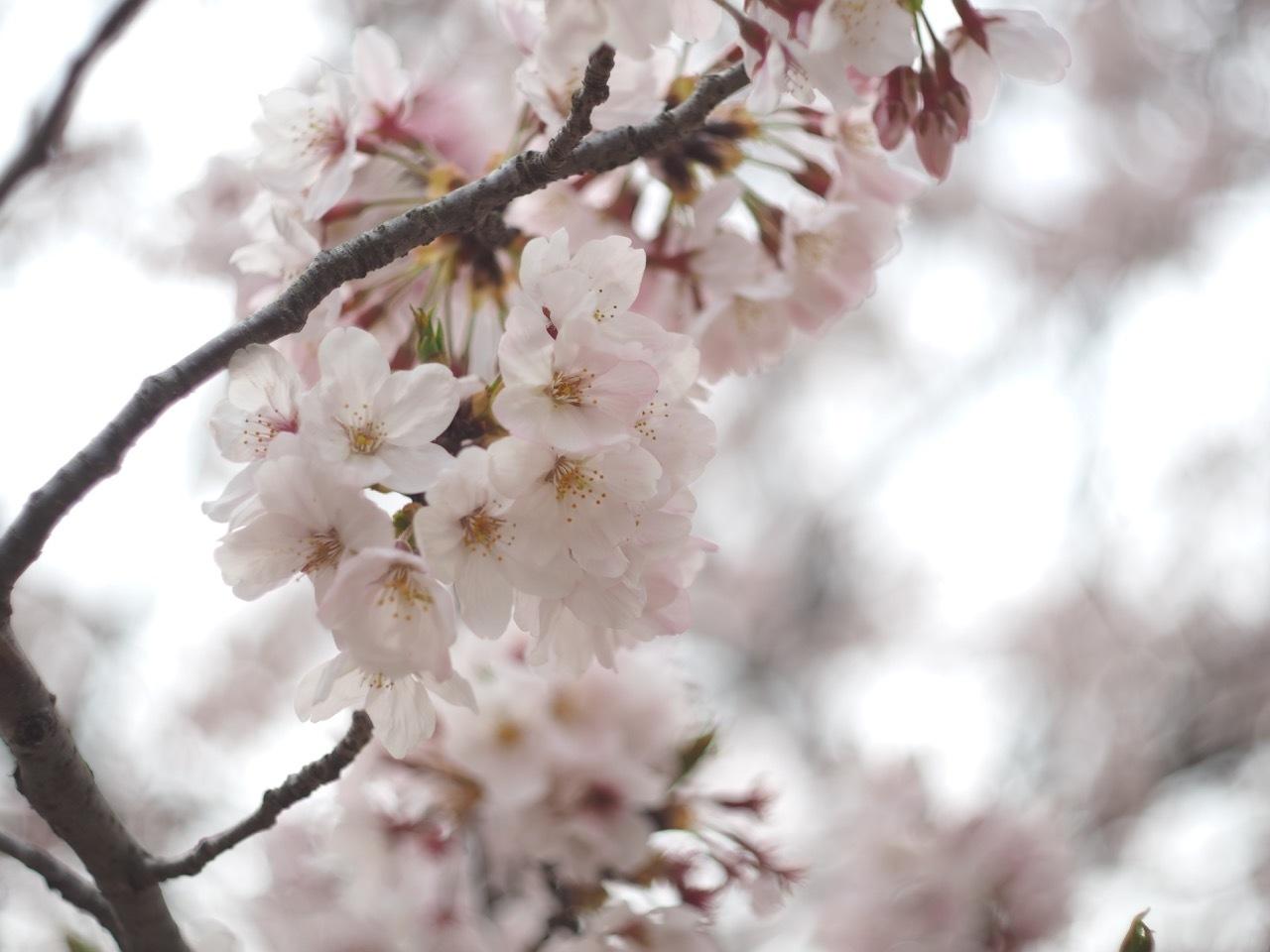 桜。_c0217406_19395180.jpg