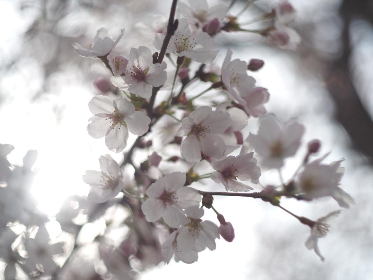 桜。_c0217406_19400311.jpg