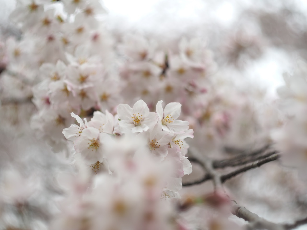 桜。_c0217406_19400733.jpg