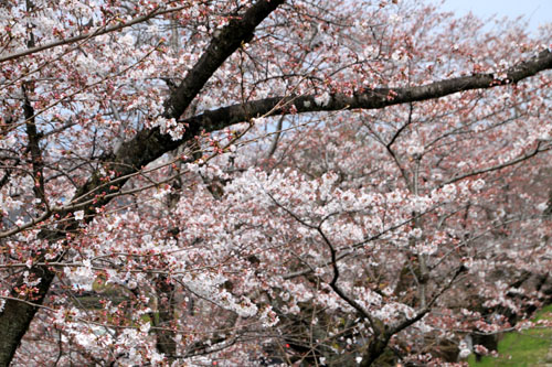 桜だより24 インクライン_e0048413_14401521.jpg