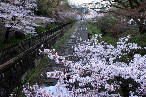 桜だより24 インクライン_e0048413_14405964.jpg