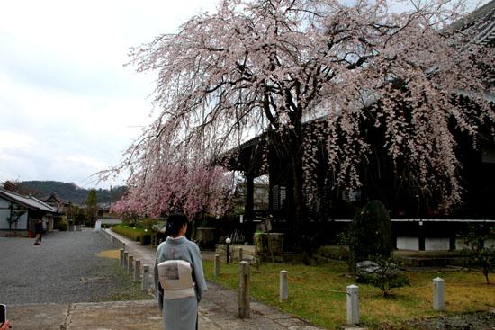 2016桜だより25 妙満寺_e0048413_1543643.jpg