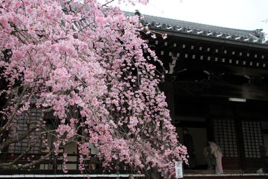2016桜だより25 妙満寺_e0048413_1545225.jpg