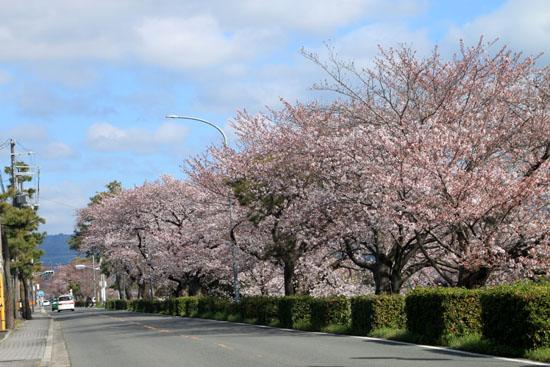 2016桜だより26 鴨川満開_e0048413_154959100.jpg