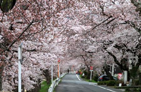 2016桜だより26 鴨川満開_e0048413_15501710.jpg