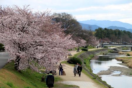2016桜だより26 鴨川満開_e0048413_1550499.jpg