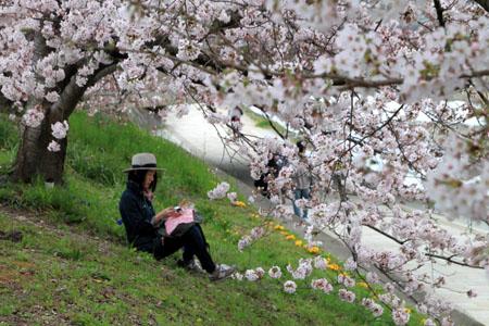 2016桜だより26 鴨川満開_e0048413_15511528.jpg