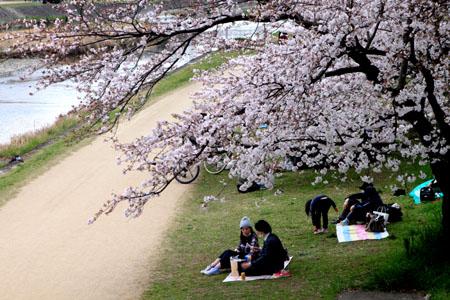 2016桜だより26 鴨川満開_e0048413_15513094.jpg