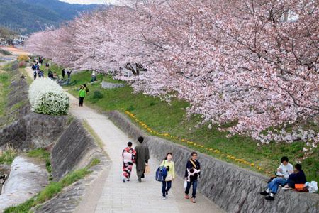 2016桜だより26 鴨川満開_e0048413_1551334.jpg
