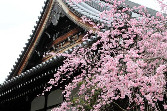 2016桜だより25 妙満寺_e0048413_1551411.jpg
