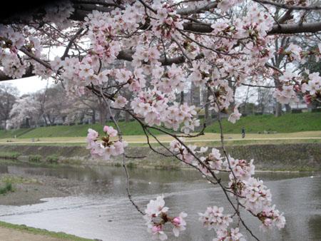 2016桜だより26 鴨川満開_e0048413_15515888.jpg