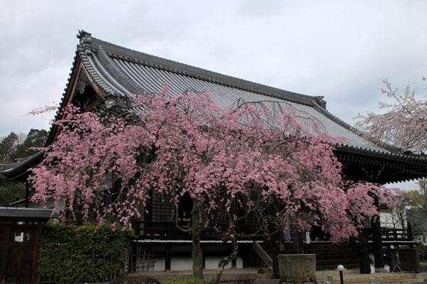 2016桜だより25 妙満寺_e0048413_155182.jpg
