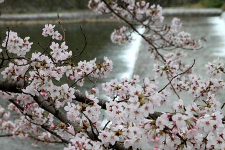 2016桜だより26 鴨川満開_e0048413_15521071.jpg