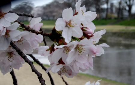 2016桜だより26 鴨川満開_e0048413_15522791.jpg