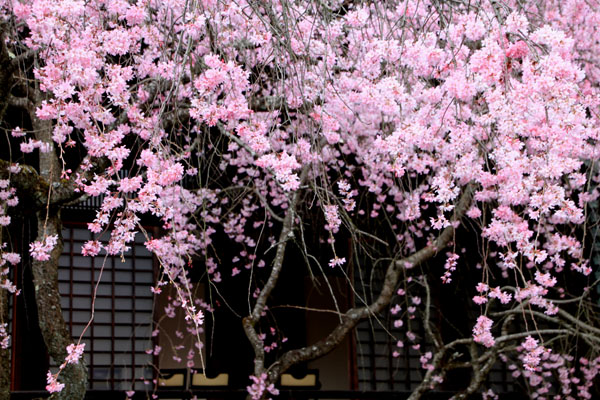 2016桜だより25 妙満寺_e0048413_1552695.jpg