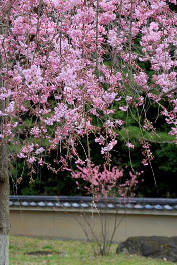 2016桜だより25 妙満寺_e0048413_1553730.jpg