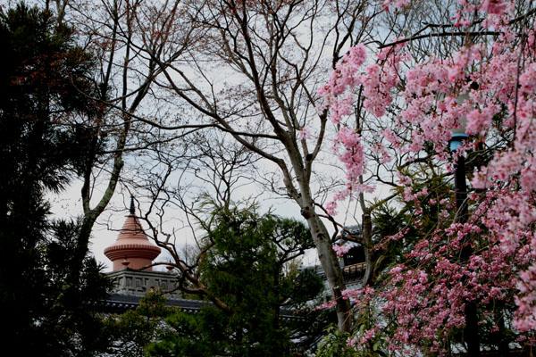 2016桜だより25 妙満寺_e0048413_155503.jpg