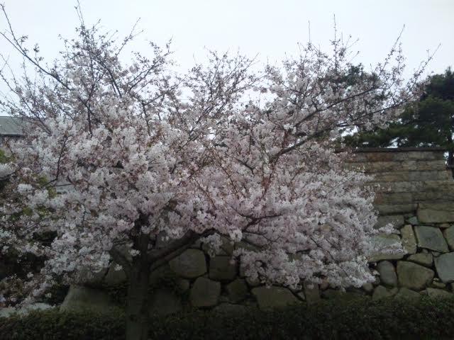 高松城の桜_d0163914_236797.png