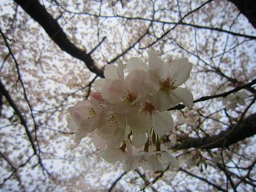 ギャラリーカフェ 茶居 chai & 桜 @あきる野_b0157216_1954477.jpg