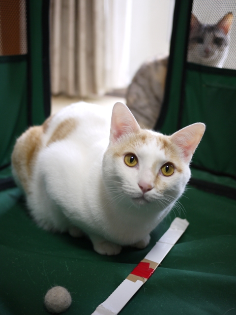 猫のお留守番 はるちゃんソルくん編。_a0143140_17492591.jpg
